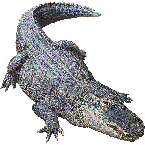 American alligator clipart