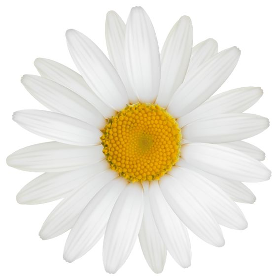Daisy clipart image flowers images and