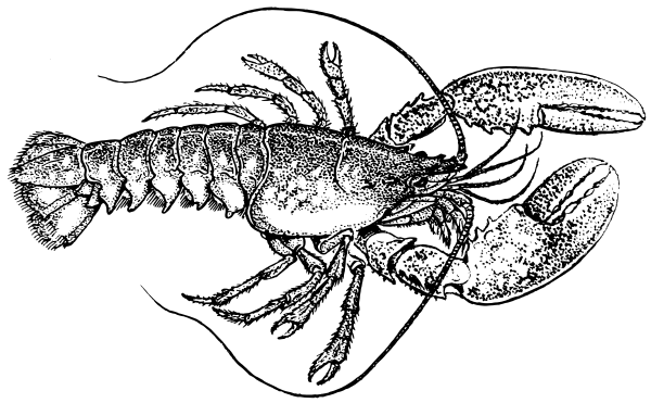 Free lobster clipart 1 page of public domain clip art clipartix