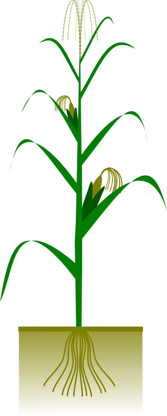 Corn plant clipart kid