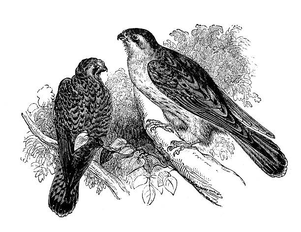 Kestrel clipart hawk pencil and inlor kestrel